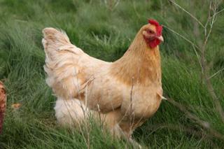 Chicken Evangelism Makes Disciples